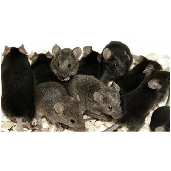 12 Rat, Mice and Mouse Large Glue Traps Sticky Board Peanut Scented Pest Control